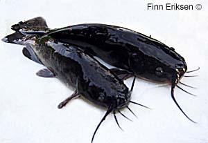 Art: Dvergmalle (Ictalurus nebulosus)