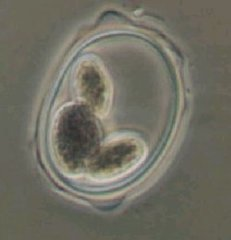 Oocystis sp.