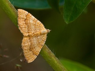 Yellow Shell (Camptogramma bilineata)