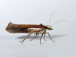 White-shouldered Smudge (Ypsolopha parenthesella)