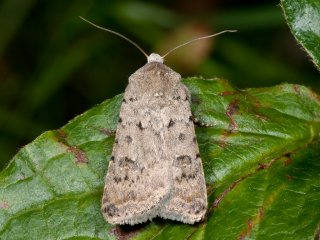 Pale Mottled Willow (Caradrina clavipalpis)