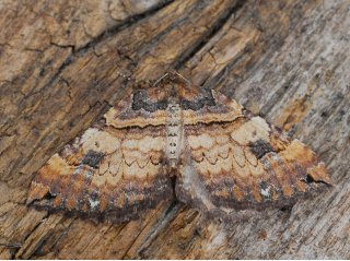 Shoulder-stripe (Anticlea badiata)