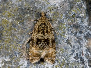 Common Marble (Celypha lacunana)