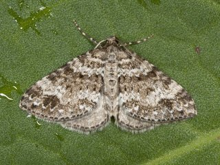 Twin-spot Carpet (Mesotype didymata)