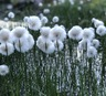 Myrull (Eriophorum sp.)